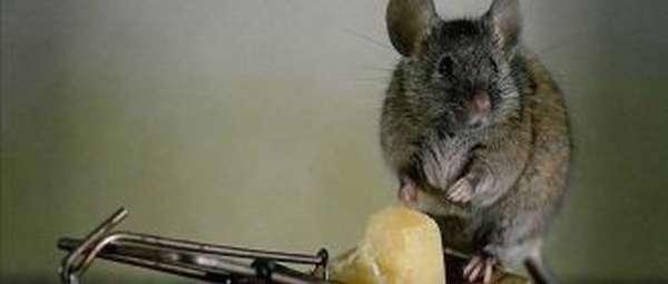 Отрава для мышей и крыс магазинная и сделанная своими руками в домашних условиях
