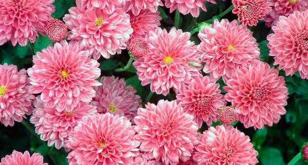Как сохранить букет срезанных хризантем в вазе дольше всего