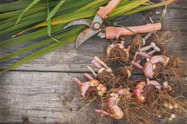 Просушка луковиц гладиолуса