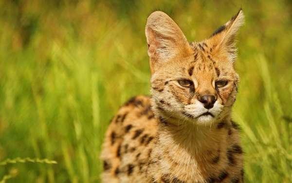 Статья: Сервалы в дикой природе